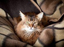 Free Somali Cat Portrait Stock Image - 26451511