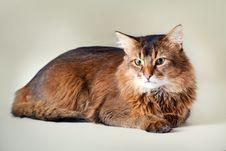 Free Somali Cat Portrait Stock Image - 26451541