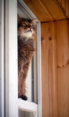 Free Somali Cat Seating In A Window Stock Photo - 26451550