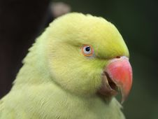 Free Indian Ringnecked Parakeet &x28;Psittacula Krameri&x29; Stock Photo - 26452950