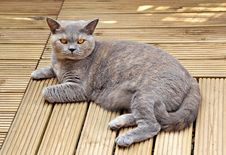 Free Luxury Pedigree Decking Cat Royalty Free Stock Photos - 26453838