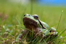 Free Tree-frog Stock Photography - 26454152