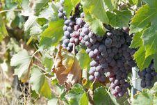 Free Black Grape Stock Image - 26454331