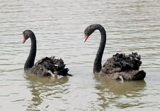 Free Couple Black Swans Swimming Royalty Free Stock Photography - 26454917