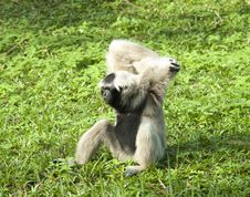 Free Gibbon Enjoy Her Life At The Zoo Stock Photography - 26455002