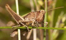 Free Grasshopper Stock Image - 26457761