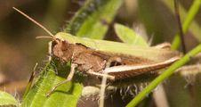 Free Grasshopper Royalty Free Stock Photo - 26457765