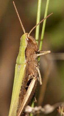 Free Grasshopper Stock Images - 26457774