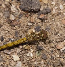 Free Dragonfly Royalty Free Stock Images - 26457809