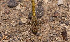 Free Dragonfly Royalty Free Stock Photos - 26457818