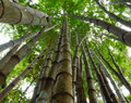 Free Bamboo. Royalty Free Stock Photos - 26464528