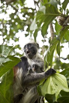 Free Rare Red Colobus Monkey With Little Stock Images - 26460274