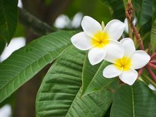 Free Plumeria Flower Royalty Free Stock Image - 26461486