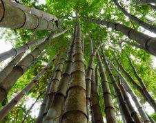 Free Bamboo. Royalty Free Stock Photos - 26464528