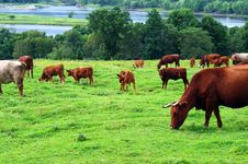 Free Cattle Grazing Stock Image - 26465551