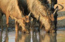Free Blue Wildebeest - Not So Pretty Stock Photos - 26467893