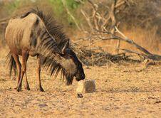 Free Blue Wildebeest - Mane Flaring Wild Royalty Free Stock Photography - 26468207