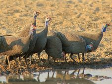 Free Helmeted Guineafowl - African Gamebird Stock Images - 26468964