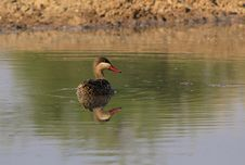 Free Redbilled Teal At Home - African Gamebird Royalty Free Stock Images - 26469739