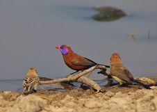 Free Waxbills, Violeteared - African Colors 4 Royalty Free Stock Photo - 26470215