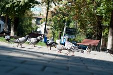 Pigeons In The Park Royalty Free Stock Image