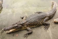 Free Crocodile In Farms Royalty Free Stock Photos - 26475678