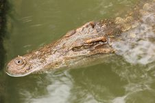 Free Crocodile In Farms Stock Image - 26475721