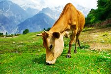 Free Cow In Mountainous Valley Royalty Free Stock Image - 26477006