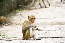 Free Monkeys Eat Fruit. Royalty Free Stock Photography - 26477057