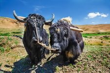 Free Yaks Ready For Ploughing Stock Photography - 26478122