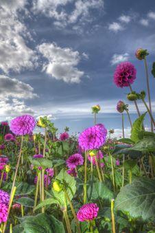 Free Dahlia Flower Field Stock Image - 26479101