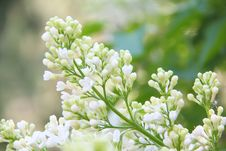 Free White Lilac. Stock Photos - 26479353