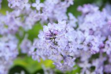 Free Lilac. Flower. Royalty Free Stock Image - 26479516