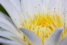 Free Blooming White Lotus Flower Stock Photo - 26479900