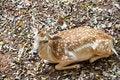 Free Young Fallow Deer Royalty Free Stock Photos - 26482138