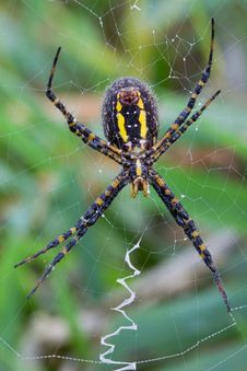 Writing Spider Royalty Free Stock Photos
