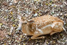 Free Young Fallow Deer Royalty Free Stock Photos - 26482138