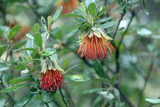 Free Diplolaena Angustifloia Flowers Royalty Free Stock Image - 26487596
