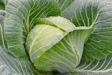 Fresh Green Cabbage With Water Drop Stock Photo
