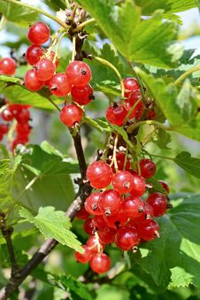 Free Cluster Of A Red Currant Royalty Free Stock Images - 26490539