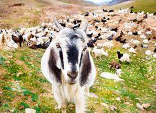 Free Goat Stock Image - 26492011
