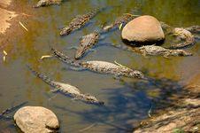 Free Several Small Crocodiles Royalty Free Stock Photography - 26492827