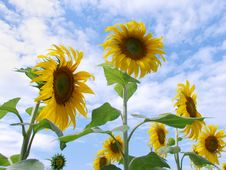 Free Sunflower Field Stock Photography - 26494012