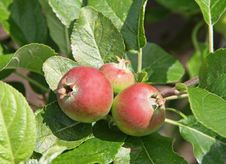 Free Fruit Tree. Stock Photography - 26496912