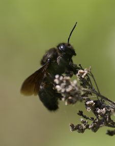 Free Carpenter Bee Stock Photography - 26497942