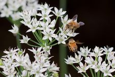 Bees & Flower Royalty Free Stock Photo