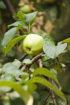 Free One Green Apple On Apple-tree Branch Vertical View Royalty Free Stock Photos - 26499298