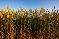 Free Golden Wheat Field Stock Photo - 2650920