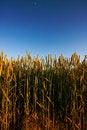 Free Golden Wheat Field Stock Photo - 2650950