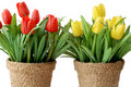 Free Artificial Tulip Royalty Free Stock Photography - 2655377